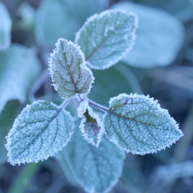 """""""Morning frost on green plant leaves"""" stock image"""