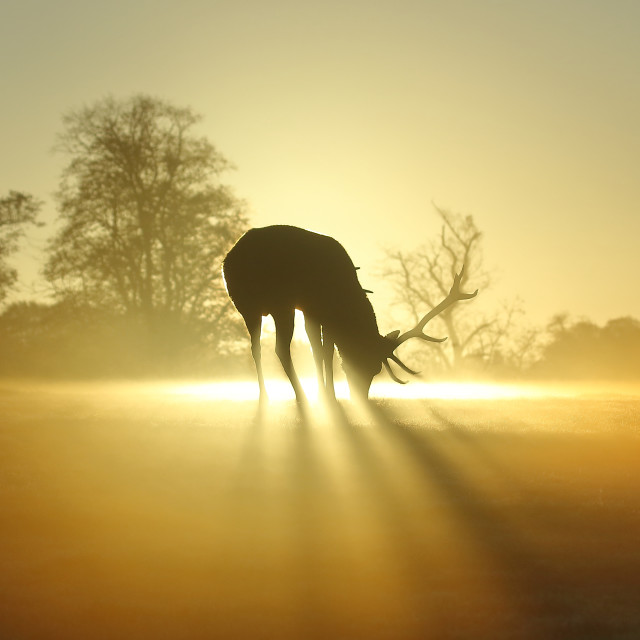 """Stag at dawn"" stock image"