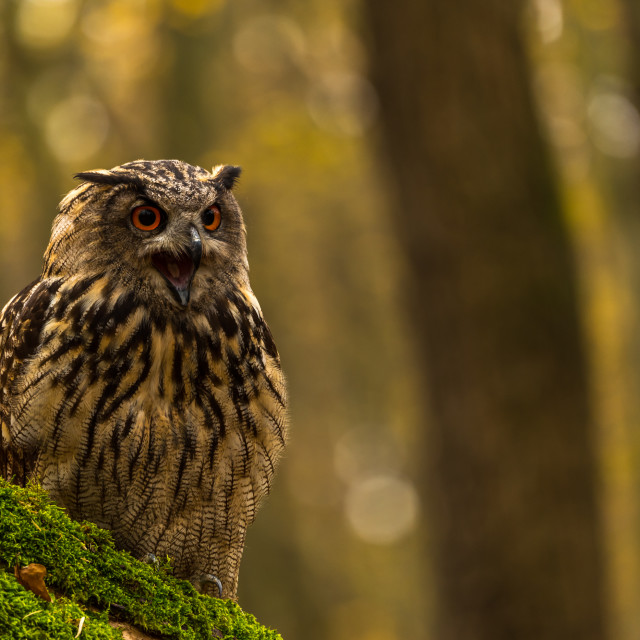 """An Eagle Owl..hooting / portrait"" stock image"