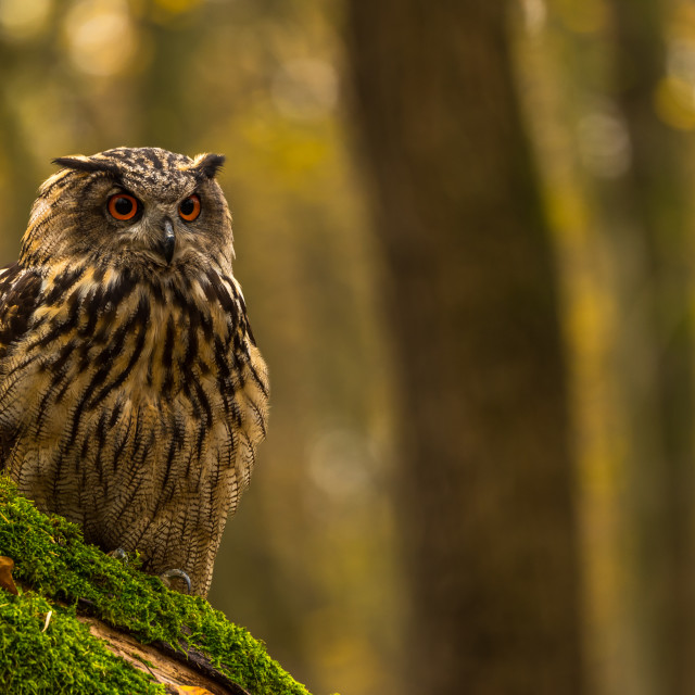"""Eagle Owl ..."" stock image"
