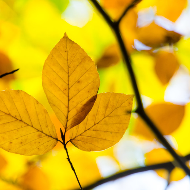 """Beech leaves"" stock image"