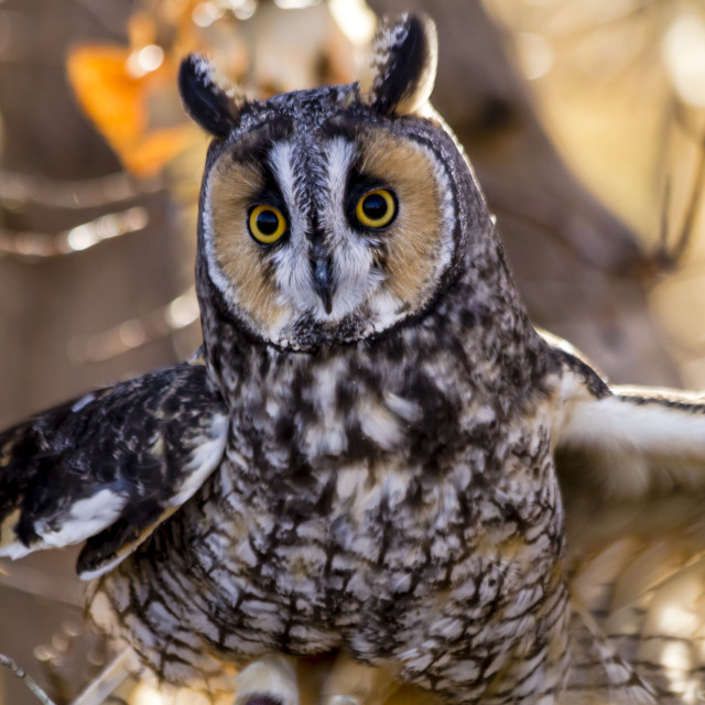 """""""Long-eared Owl in fall forest setting"""" stock image"""