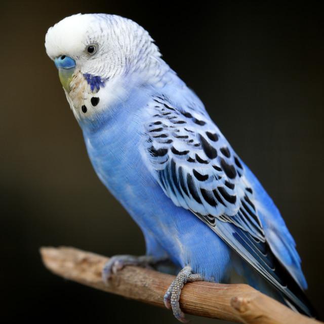 """Small blue bird in Kuala Lumpur Bird Park, Malaysia."" stock image"