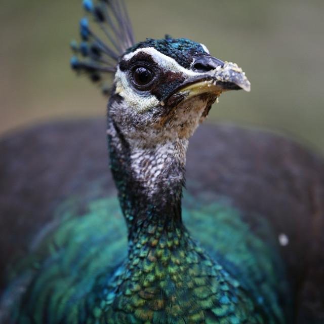 """""""Peacock in Kuala Lumpur Bird Park, Malaysia."""" stock image"""
