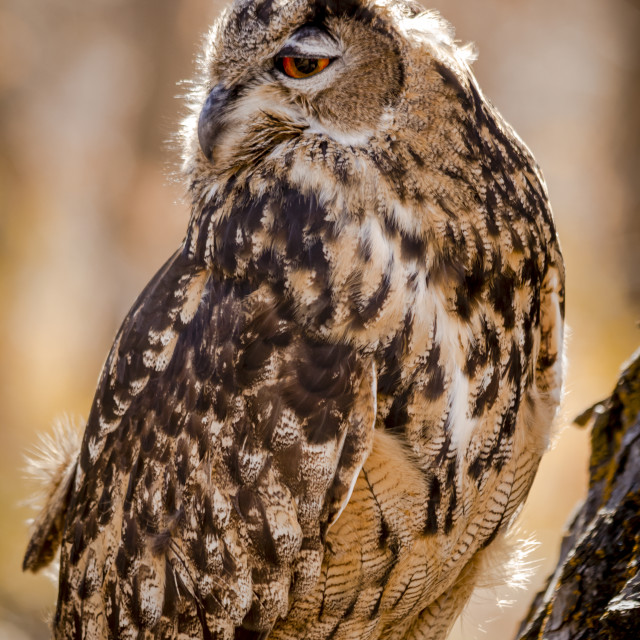 """Eurasian Eagle Owl on tree branch"" stock image"