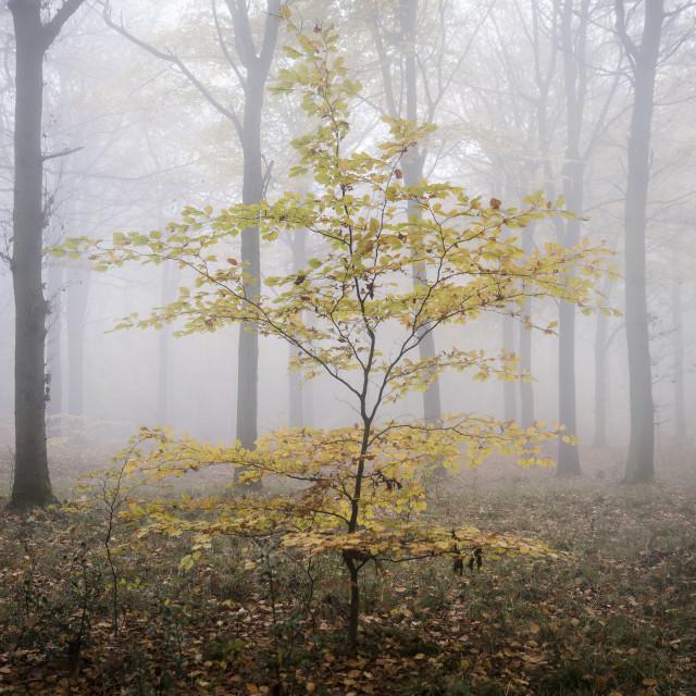 """Wendover Woods Sapling Autumn Mist"" stock image"
