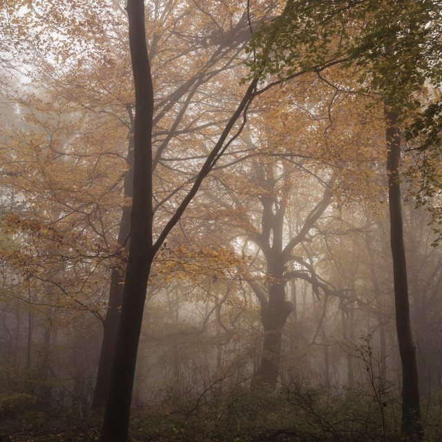 """Wendover Woods Autumn Mist"" stock image"