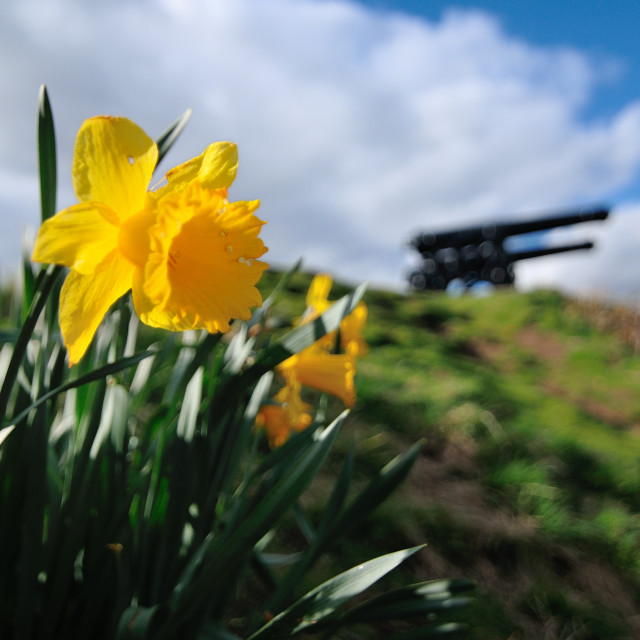 """Daffodils & Cannons"" stock image"