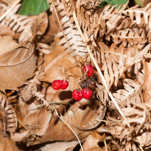 """""""close up of red deadly night shade shriveled berries ground autumn leaves fall"""" stock image"""