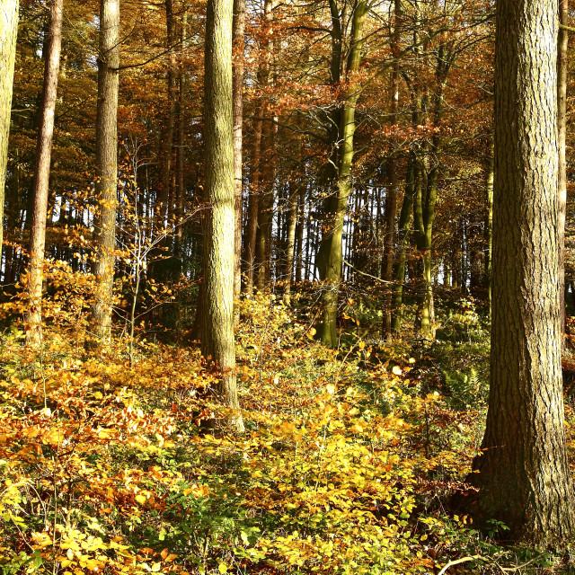 """""""Autumnal woodland"""" stock image"""