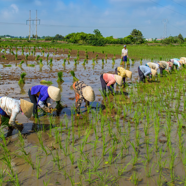 """Farmers planting rice"" stock image"