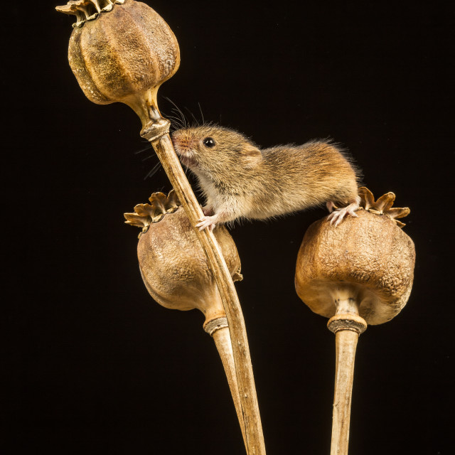 """Harvest Mouse III"" stock image"