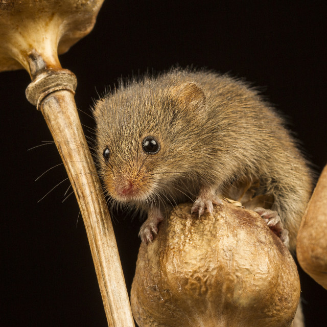 """Harvest Mouse IV"" stock image"