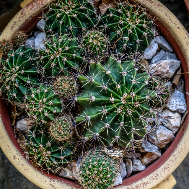 """Cactus in pot"" stock image"