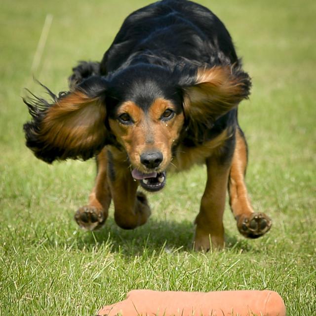 """""""Dog agility"""" stock image"""