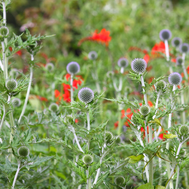 """Sea holly growing with poppies in the background"" stock image"