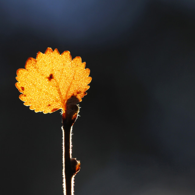 """""""Dwarf Birch, Betula nana"""" stock image"""