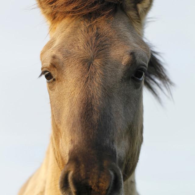 """Konik wild horse"" stock image"