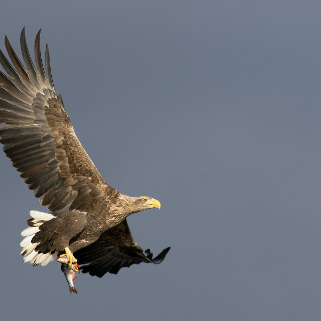 """""""White-tailed eagle with catch"""" stock image"""