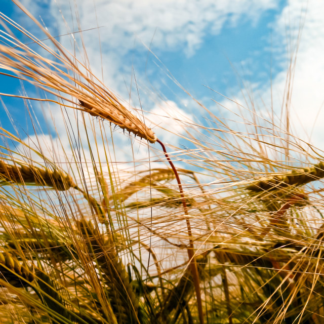 """Golden barley ears"" stock image"