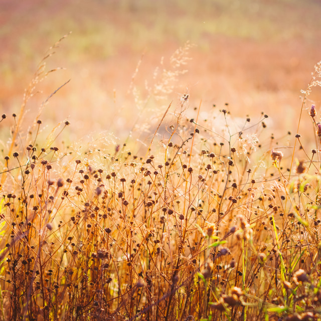 """""""Yellow Dry Autumn Grass On Meadow. Toned Instant Photo"""" stock image"""