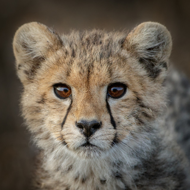 """Cheetah cub connection"" stock image"