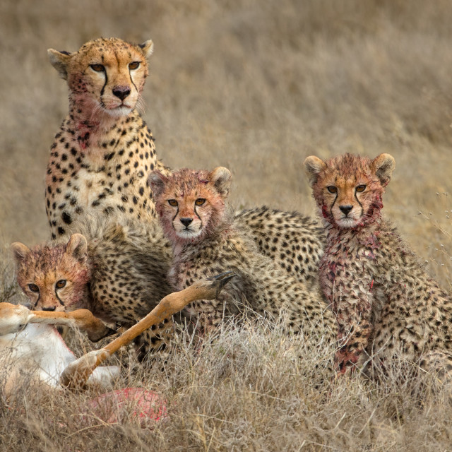 """Cheetah family mealtime"" stock image"