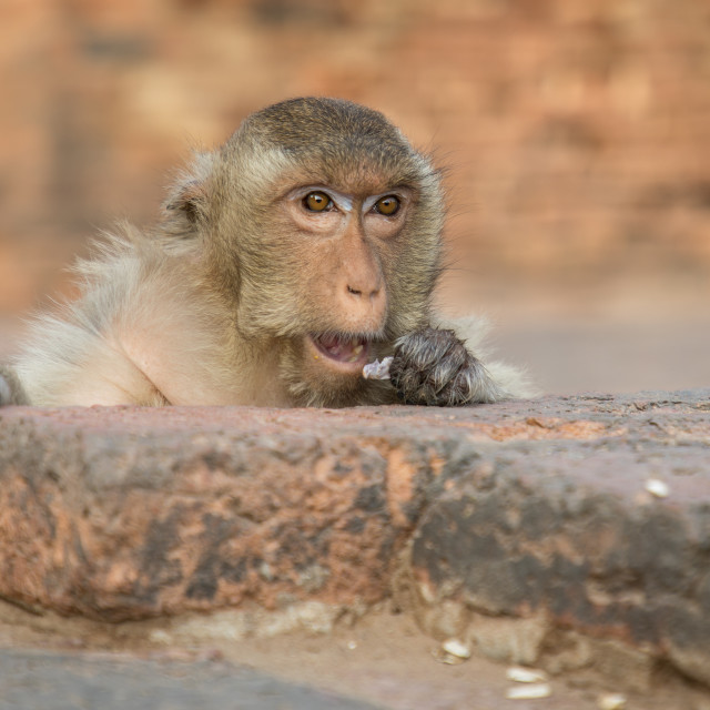 """Long-tailed macaque looks over a wall"" stock image"