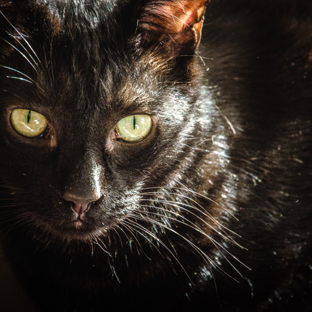 """Black cat in shadow"" stock image"