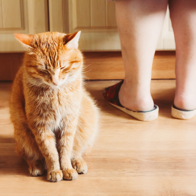"""""""Red Cat Sitting Near Female Foots"""" stock image"""