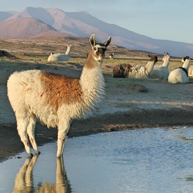 """Thirsty Llama"" stock image"