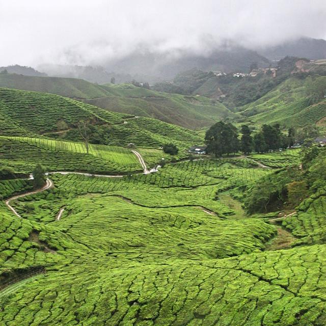 """Tea Plantations"" stock image"