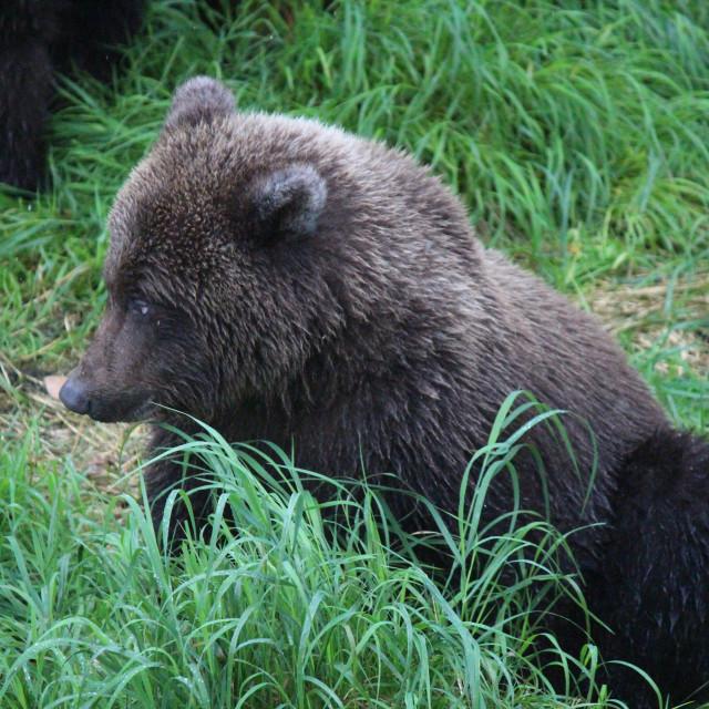 """""""Bear cub"""" stock image"""