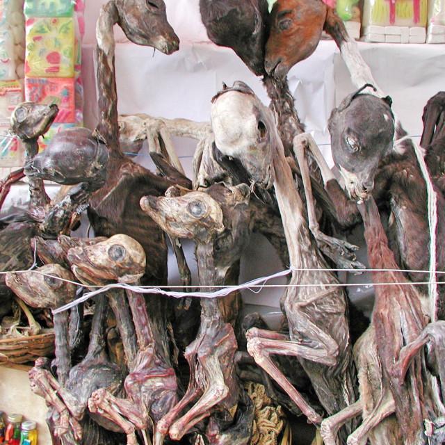 """""""Llama Foetuses"""" stock image"""