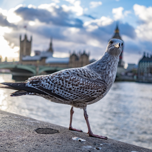 """Seagull photobombs Houses of Parliament photo"" stock image"