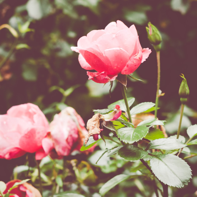 """""""autumnal rose garden bloomings - nature backgrounds"""" stock image"""