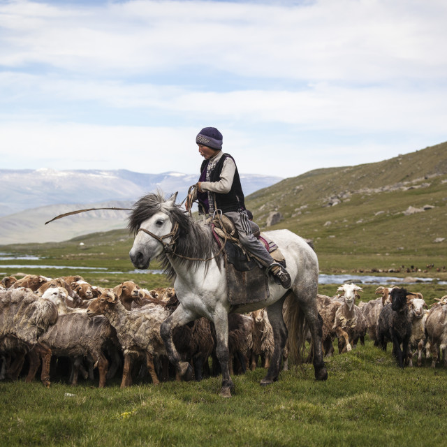 """""""Rounding up the sheep"""" stock image"""