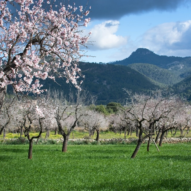 """Blossoming almond trees"" stock image"
