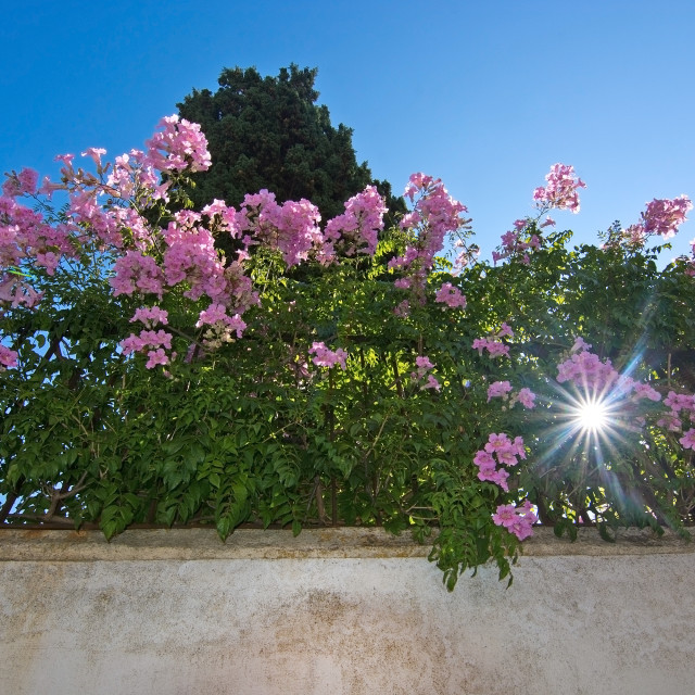 """Pink bush star shine"" stock image"