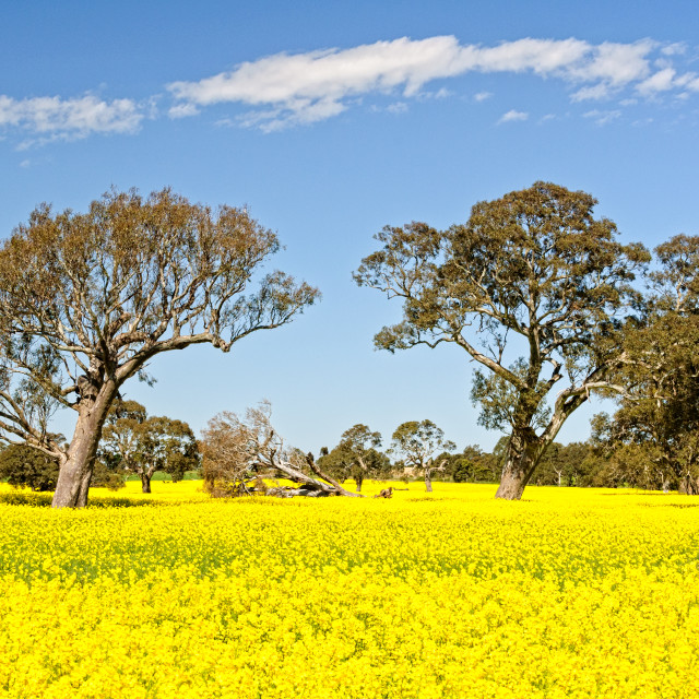 """Gum trees and canola - Grampians"" stock image"
