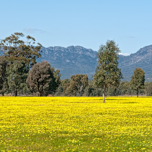 """Blooming canola - Grampians"" stock image"