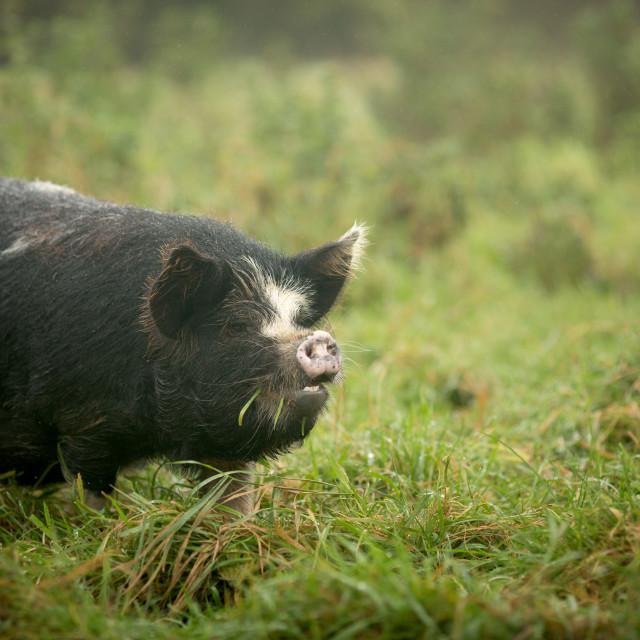 """""""Kunekune Pig"""" stock image"""
