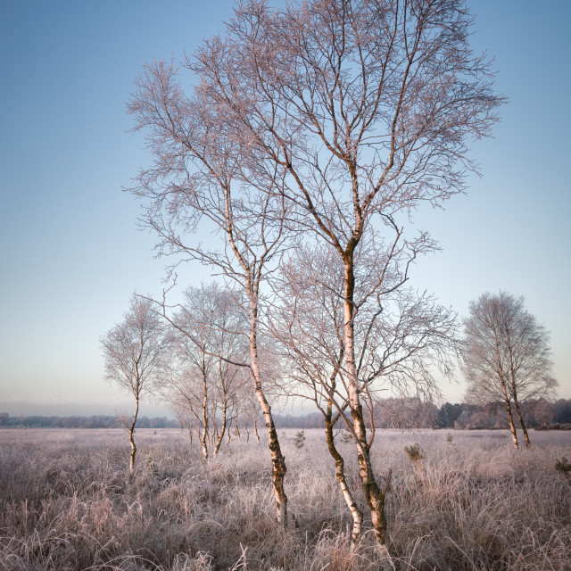 """Silver Birch on Frosty Moorland"" stock image"