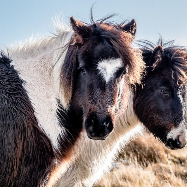 """""""Two Dartmoor Pony's."""" stock image"""