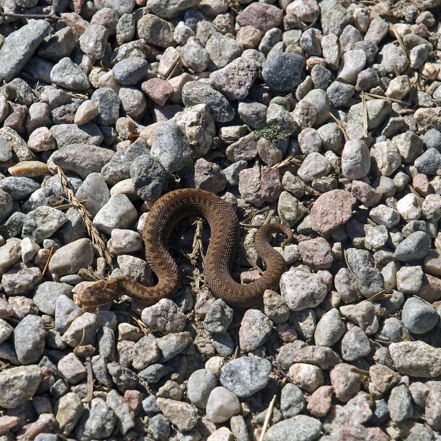 """Baby Adder Snake"" stock image"