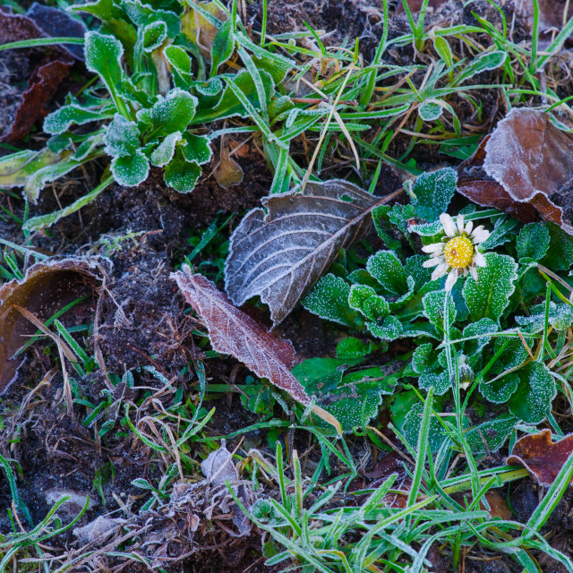 """""""Daisy and the first frost"""" stock image"""