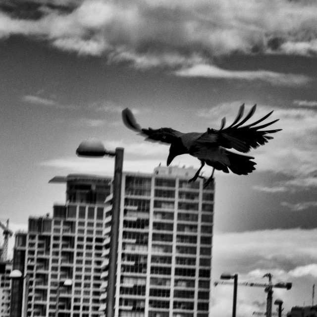 """Crow in Flight"" stock image"