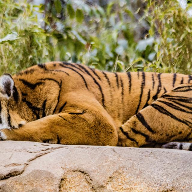 """Sleepy Tiger"" stock image"