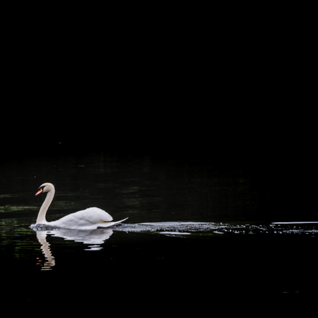 """Swan swimming"" stock image"