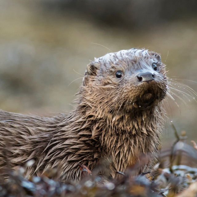 """Otter cub, Mull November 2017"" stock image"